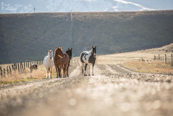 Morning traffic: Madison Valley ranch horses cruising along in spring sunshine.